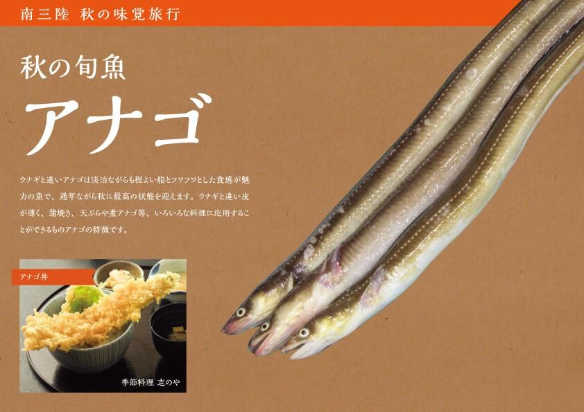 南三陸 秋の旬魚 アナゴ