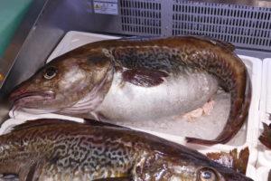南三陸の冬の味覚!今が旬「寒鱈」がオススメです!