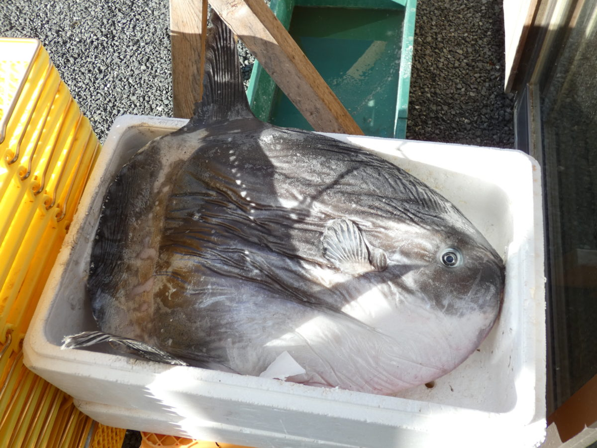 【※重要】今週・来週の魚屋の営業についてお知らせ!