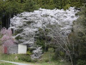 さんさん商店街周辺の桜が見頃になってきました!商店街に来られないお客様に桜の画像をおすそ分け!